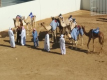 Young camels getting ready