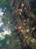 Cannonball tree (fruits)